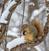 picture of walnut-tree  - Fox squirrel Sciurus niger on a snow covered tree branch eating a walnut - JPG
