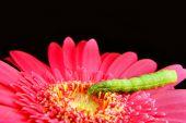 Green Caterpillar On A Pink Flower