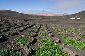 stock photo of canary-islands  - Lanzarote La Geria vineyard on black volcanic soil in Canary Islands - JPG