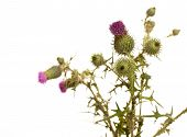 image of scottish thistle  - Thistle closeup isolated on the white background