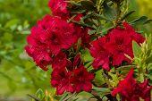 Rododendro Macro
