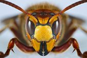 pic of wasp sting  - Macro image of a European wasp isolated on a white background.
