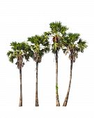 stock photo of northeast  - Four borassus flabellifer trees known by several common names including Asian Palmyra palm Toddy palm Sugar palm or Cambodian palm tropical tree in the northeast of Thailand isolated on white background - JPG