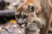 Mean Mountain Lion