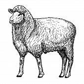 sheep hands drawing