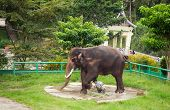 Man Washes The Elephant In Zoo