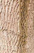 bark of old walnut tree