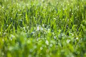 Green Grass And Spider's Web With Dew Drops Shining In The Sun