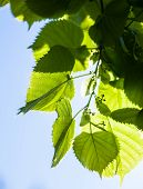 foto of lime-blossom  - Bright green leaves and tiny flower buds of the lime tree in the sunshine - JPG