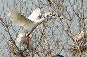 A Cattle Egret (bubulcus Ibis) Carrying A Stick Back To The Nest In The Mangroves