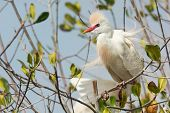 image of erection  - A Cattle Egret  - JPG