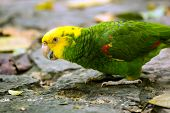 Portrait Of ..portrait Of Yellow-headed Amazon Parrot