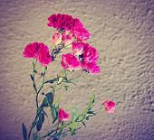 rose bush flowers blooming in the spring done with a retro vintage instagram like filter