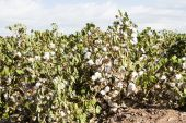 stock photo of pima  - a mature cotton field before defoliation and harvest - JPG