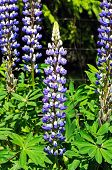 Blue and white lupins.
