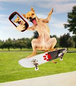image of skateboarding  - a chihuahua taking a selfie while riding a skateboard - JPG