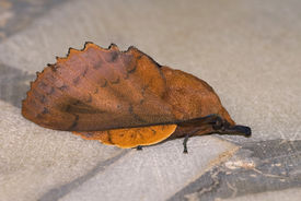 stock photo of eggar  - The lappet moth sitting on the marble floor - JPG