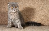 picture of scottish-fold  - Scottish fold gray cat sitting on brown couch - JPG