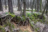 Tree Trunks And Tree Roots In A Leafless Forest