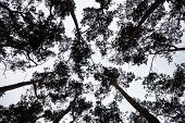 Silhouettes Of The Pine Treetops Against The Sky