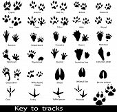 pic of bear tracks  - Collection of animal and bird trails isolated on white - JPG