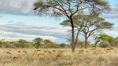 Herd Of Gazelles, Tarangire National Park, Tanzania, Africa