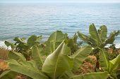 Banana Tree Near The Ocean. Gomera. Canary Islands
