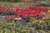 picture of bearberry  - A small fungus among red bearberry - JPG
