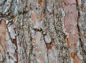 Old Pine Bark