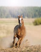picture of wild horse running  - wild horse in the dust running wild - JPG