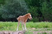 stock photo of fillies  - Little pony filly grazing alone in summer - JPG