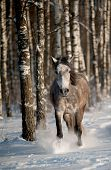 foto of wild horse running  - gray horse in winter forest running wild