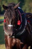 Draft Horse In Harness