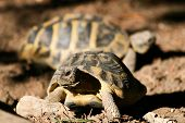 stock photo of curio  - Typicall sardinian turtles in my garden  - JPG