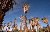 An Oasis Of Tropical Trees Furnace Creek Death Valley