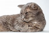gray cat lying paws clasped together