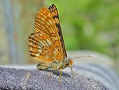 Butterfly (melitaea)