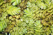 foto of arum  - Pistia is a genus of aquatic plant in the arum family with water drop - JPG