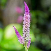 Close Up Pink Color Of Stalk Flower