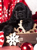 stock photo of christmas puppy  - puppy christmas American Cocker Spaniel - JPG