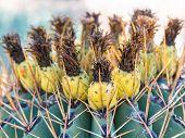 Ferocactus With Fruits From Phoenix, Arizona