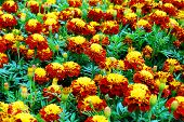 Tagetes Flowers Yellow, Red And Green Background