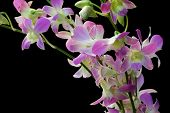 Pale Dendrobium Orchid On Black