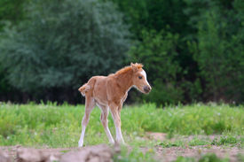 picture of fillies  - Little pony filly grazing alone in summer - JPG
