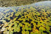 picture of lillies  - Water lillies flower leaves spread over lake waters wetland scenic nature in rural reserve - JPG