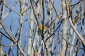 pic of robin bird  - Robin Bird at Tree Branches Over Blue Sky - JPG