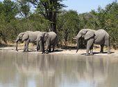 Постер, плакат: Elephants In Botswana