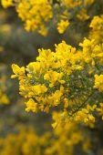 pic of abundance  - abundant flowering of Genista microphylla broom species endemic to Gran Canaria natural floral background - JPG