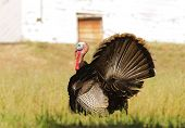 picture of gobbler  - Tom turkey strutting looking for a mate in the spring - JPG