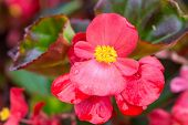 stock photo of begonias  - Pretty coral pink flowers of a wax begonia - JPG
